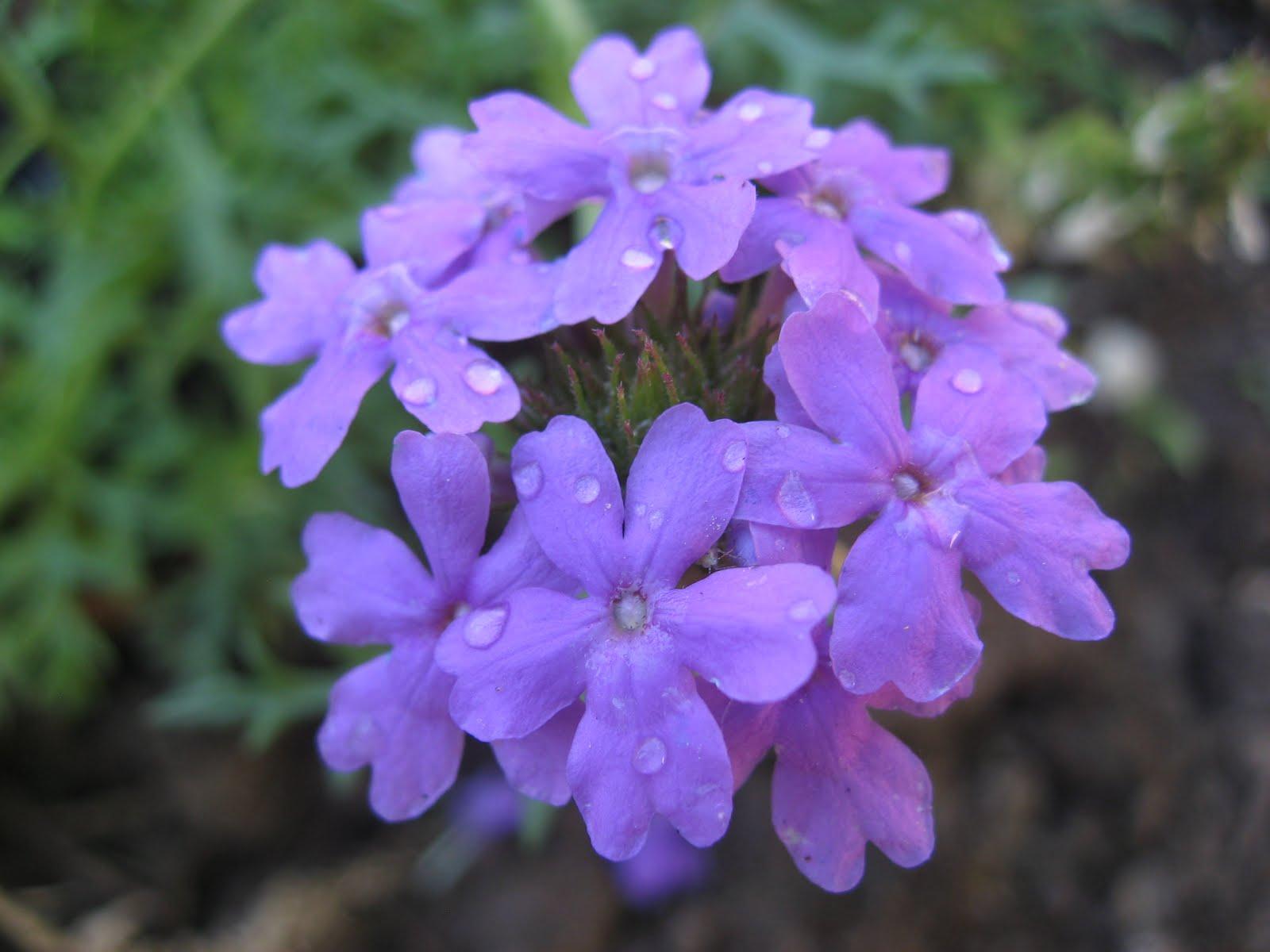 Green House Good Life Flora Focus Verbena