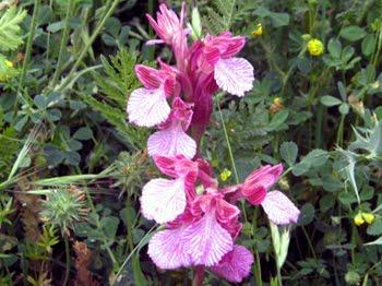 Anacamptis papilionacea: Orchidea farfalla