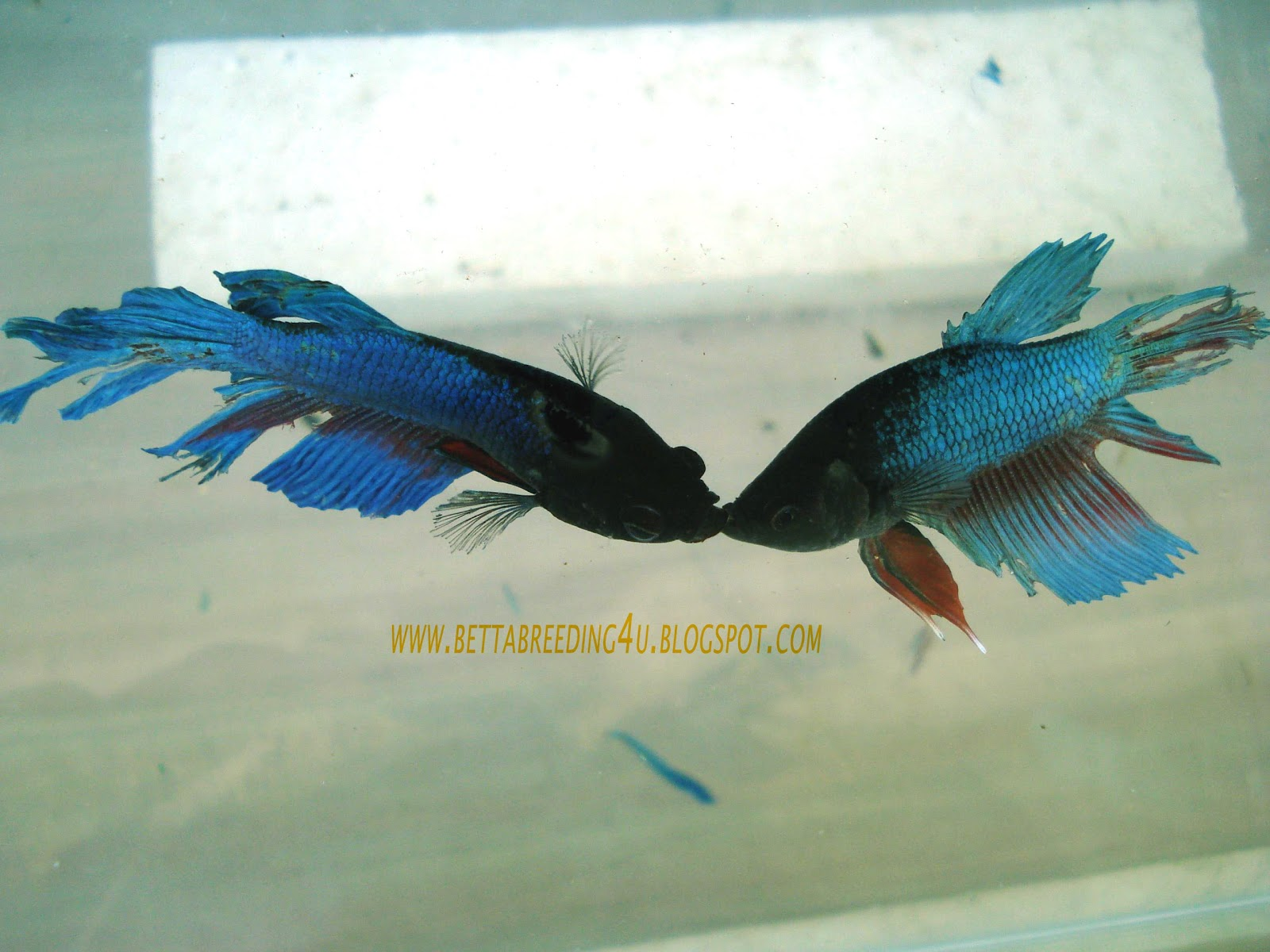 betta fish fighting training