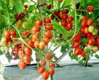 Budidaya buah tomat