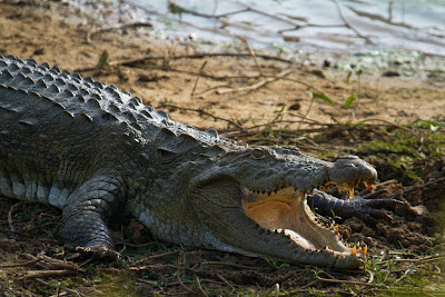 A photograph of a Mugger Crocodile taken in Yala, Sri Lanka