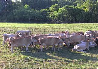 秋田 にかほ ジャージー牛