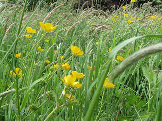 Field of buttercups