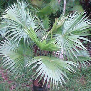 Palm Sadeng