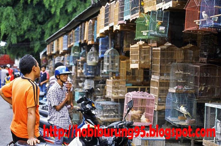 Harga Burung | Harga Pasaran Murai Batu