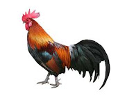 Banty Rooster