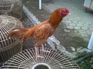 Ayam BK Asli Import Langsung dari Thailand: Pama Brazil ( Harga 1,5jt
