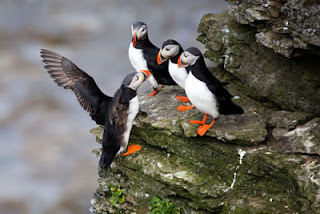 Funny Atlantic Puffin