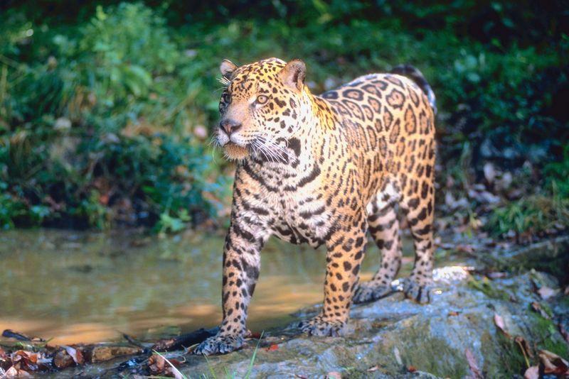 el jaguar (en peligro de extincion)