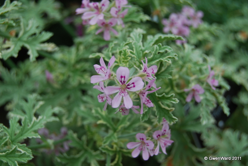 Perfect Pelargoniums Lady Plymouth Still Attractive