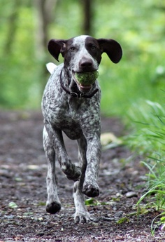 How Fast can a German Shorthaired Pointer run?