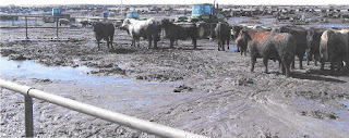 Feedyard employees using equipment to clear mud out of a feedyard to keep cattle comfortable