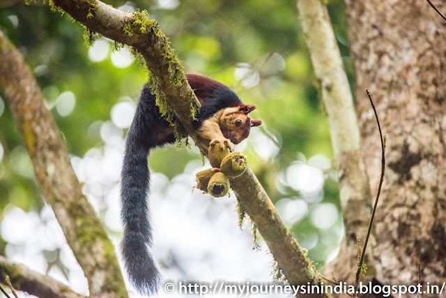 Thattekad Malabar Giant Squirrel