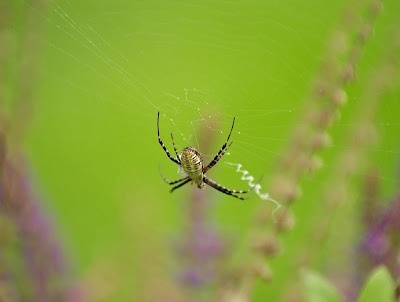 Michigan Spiders - Banded Argiope-5