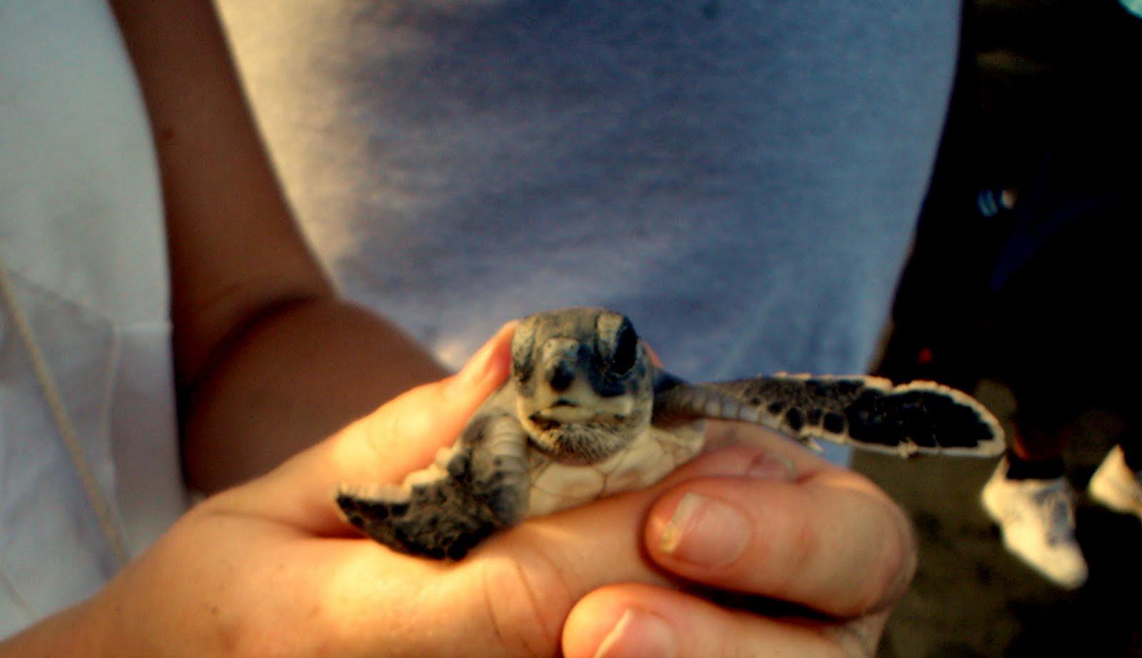 Tartaruga pronta per il mare