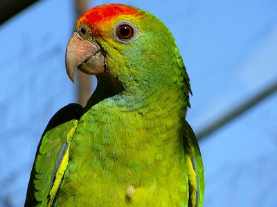 Amazon Parrot Bird Pictures