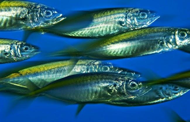 أجمل الأسماك الاستوائية الملونة   - صفحة 3 Colorful-tropical-fishes-23