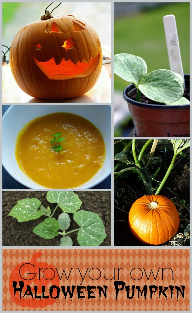 Grow you own Halloween Pumpkin