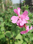 Red campion (Silene dioica