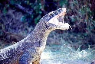 කබරගොයන්ගේ නෑයෙකු වන ප්රචණ්ඩකාරී කොමෝඩෝ මකරු (Komodo Dragon)