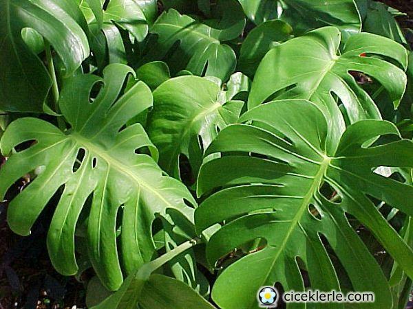 Ev i ekleri mutluluk okyanusu - Radici palma ...