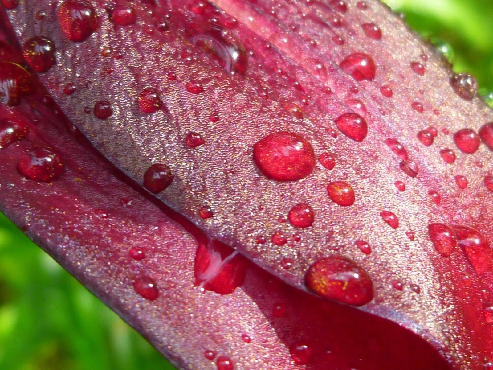 Svanå trädgård: Liljan 'Ove'