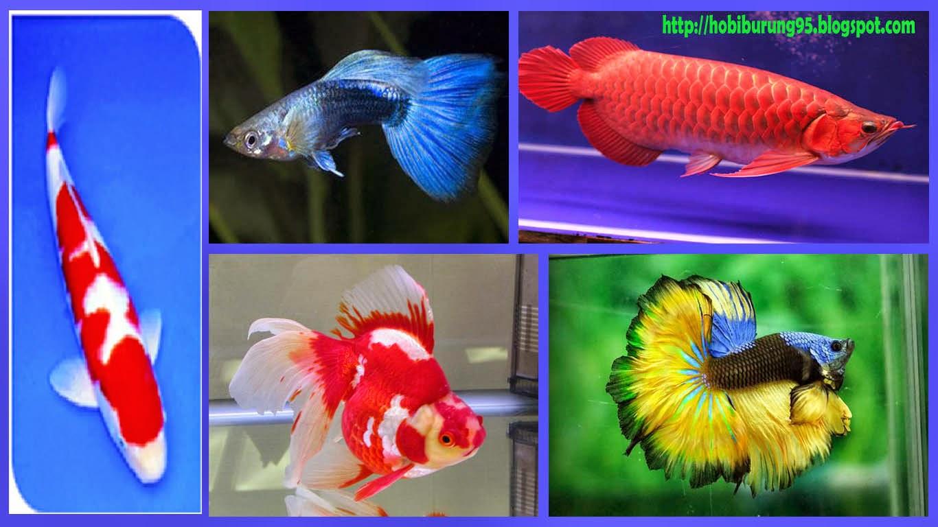 Ikan Hias | Jenis - Jenis Ikan Hias Air Tawar