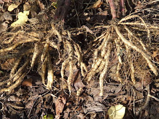 three year skirret roots
