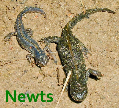 Two newts - suspended animation