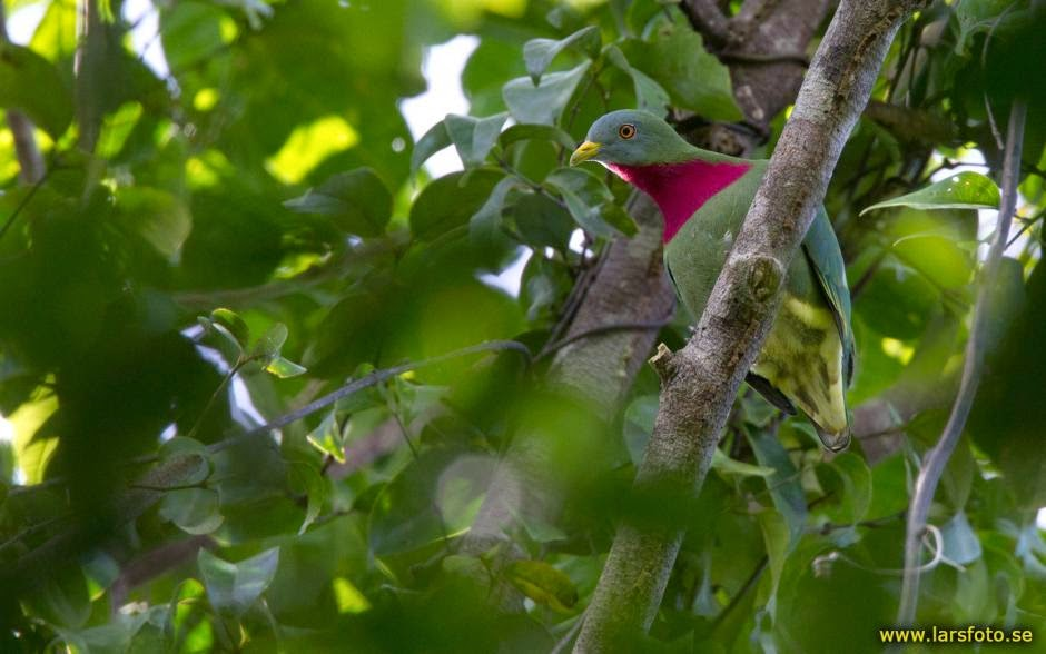 Claret beasted fruit dove