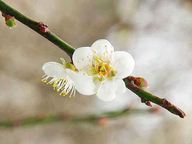 flower, stem, buds, raindrop, plum blossom