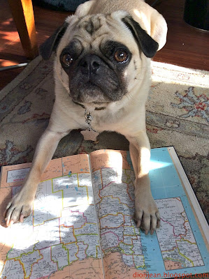 Liam the pug mapping his SEO keyword strategy