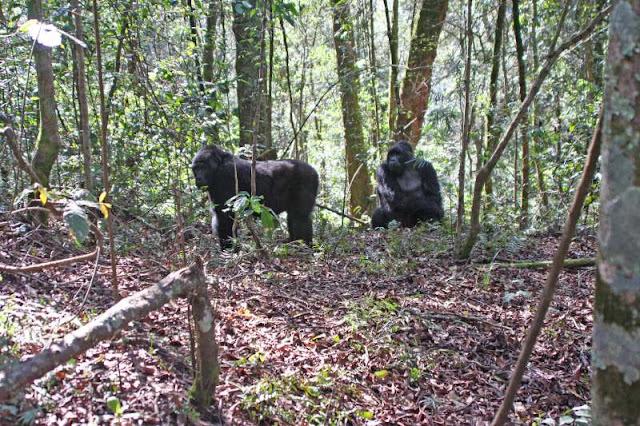 Mountain gorillas Bwindi National Park