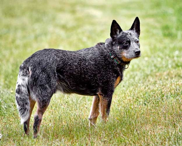 How to Stop a Dog from Herding