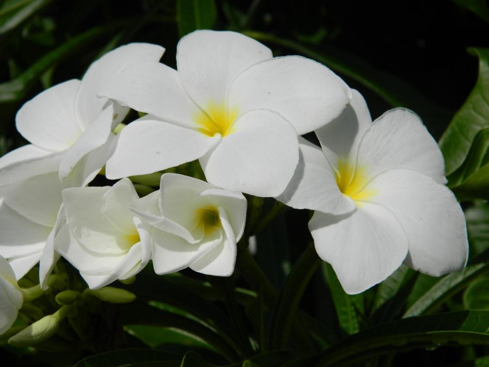 Bridal bouquet Plumeria pudica  blooms Caribbean Garden Naples Botanical Garden by garden muses-a Toronto gardening blog