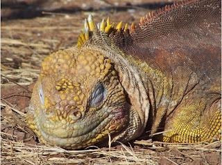 Funny Galapagos Land Iguana