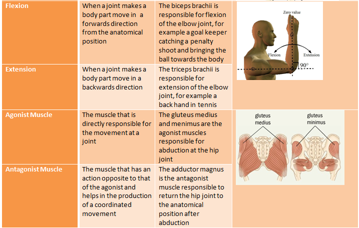Anatomy and Physiology Glossary | A Level Physical Education