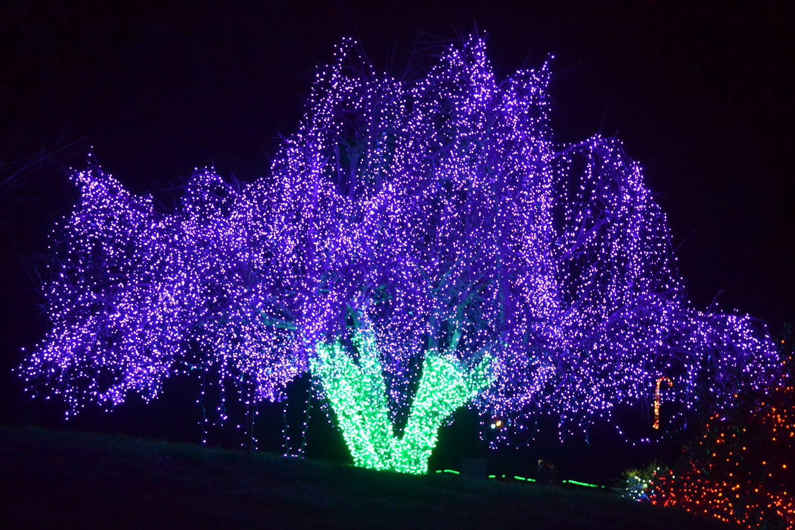 The Outlaw Gardener: On the ninth day of Christmas, Zoo Lights the ...
