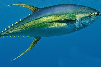 Perbedaan Ikan Tuna Sirip Kuning dan Jenis Ikan Tuna Lainnya