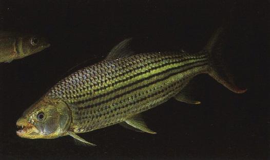 Fish N Tips: Large Aquarium Fish - Freshwater
