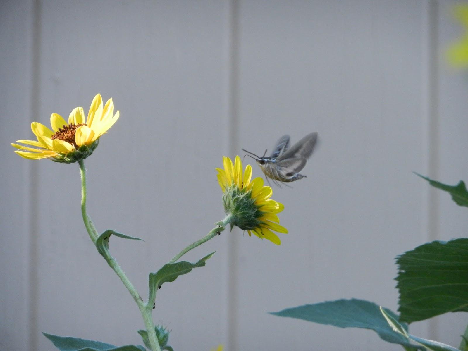 hummingbird moth pic
