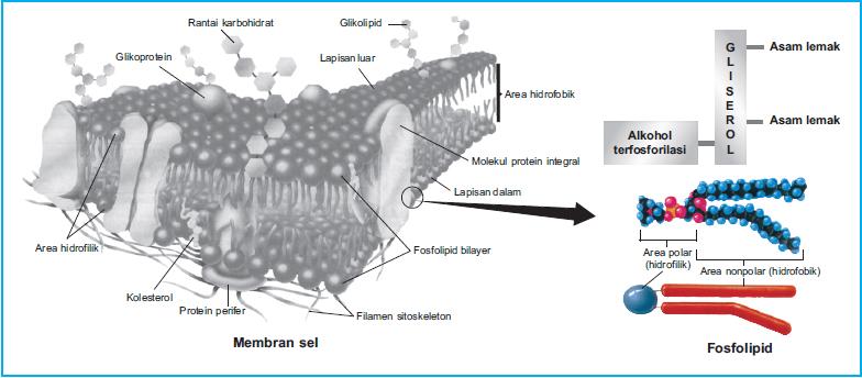 Is sterols a lipid membrane iv 3000 dressing is sterols a lipid membrane ccuart Choice Image