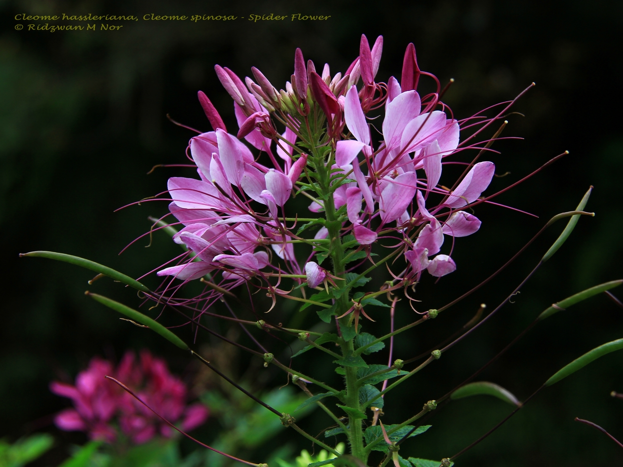 Cleome hassleriana Cleome spinosa Spider Flower
