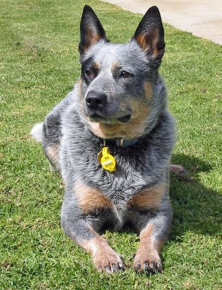 Where Is The Dog Breed Blue Healer From