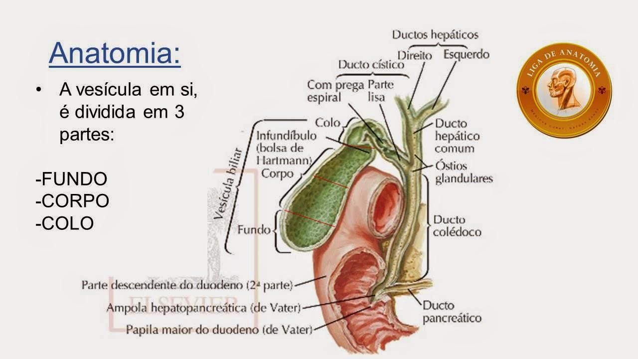 Excelente Vesícula Biliar Infundíbulo Anatomía Festooning - Anatomía ...