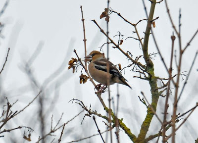 HAWFINCH-MARBURY COUNTRY PARK-1ST JANUARY 2009
