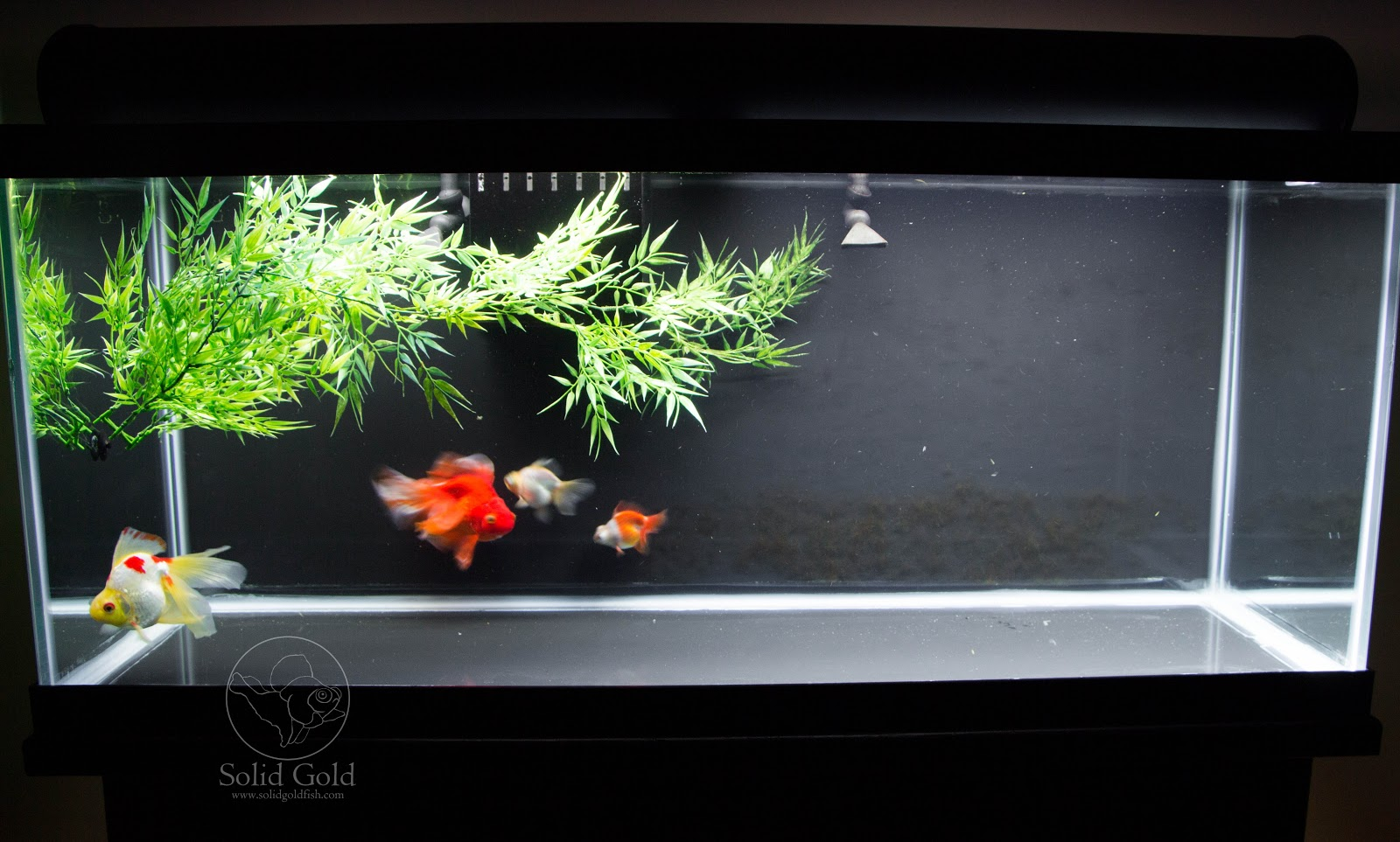 75 gallon aquarium goldfish 75 gallon goldfish aquarium for Aquarium decoration for goldfish