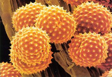 external image pollen.jpg