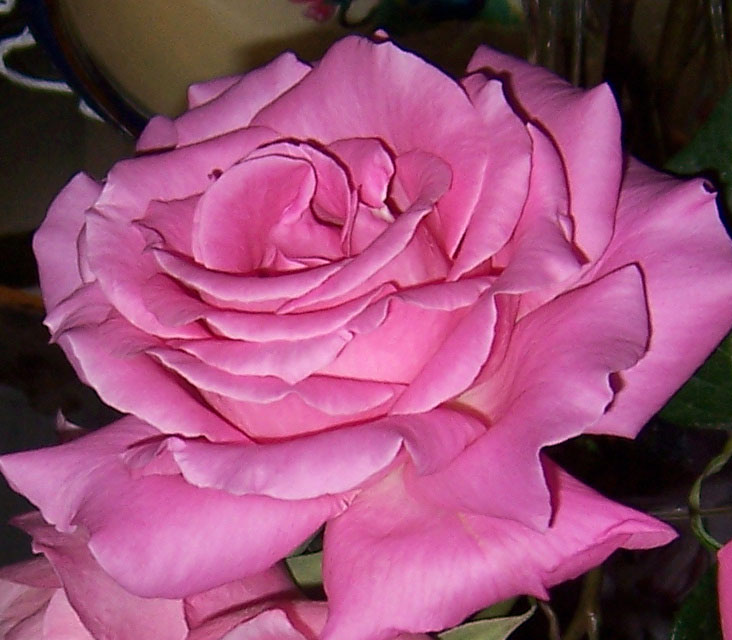 Rosa de nuestro rosal, 2013