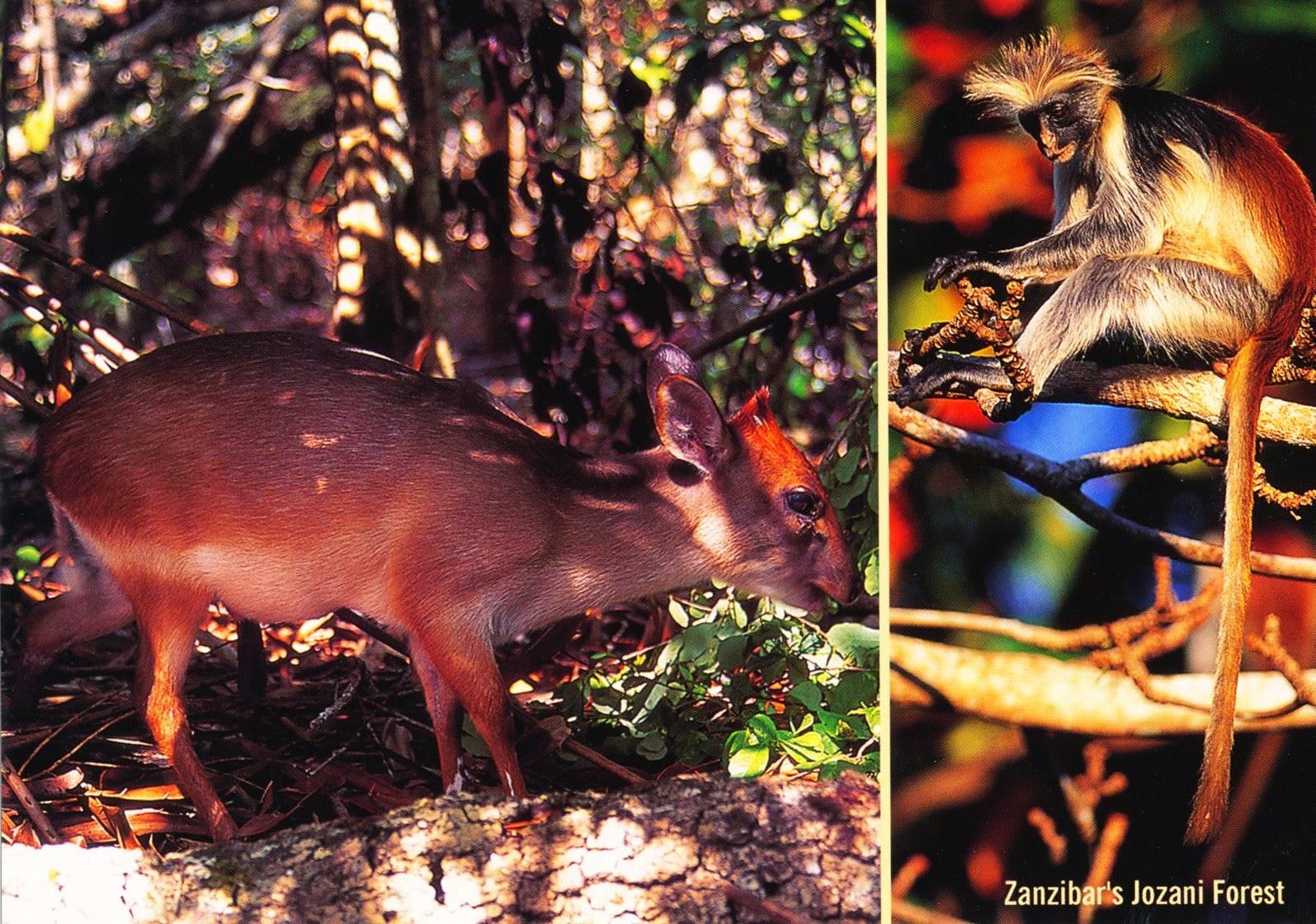 postcard, tanzania, blue duiker, zanzibar red colobus